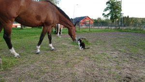 Figaro - klubbens katt